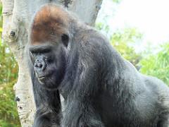 Gorilla by Keith Roper